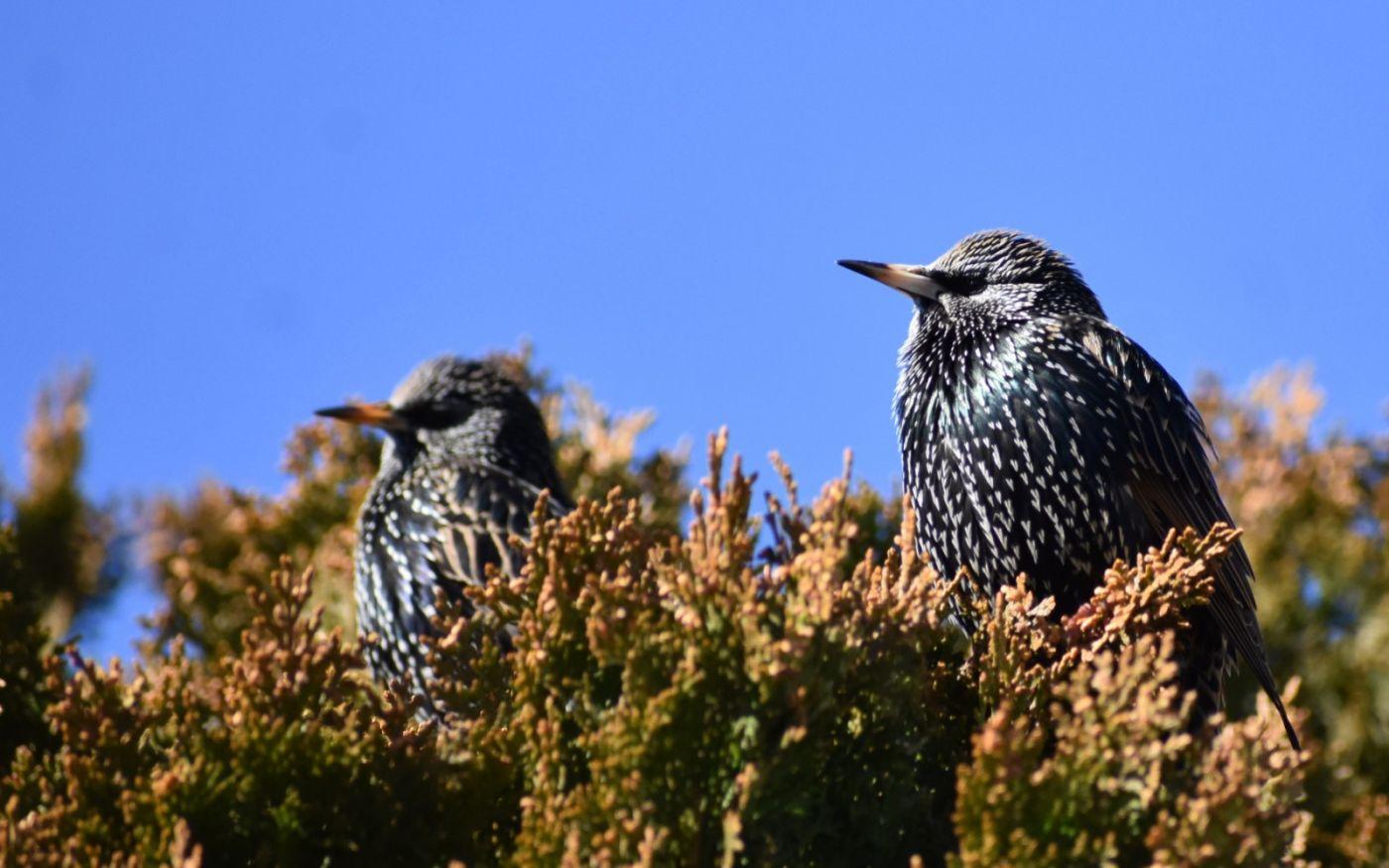 紫翅椋鸟_图1-20