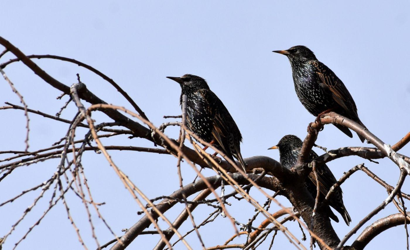 紫翅椋鸟_图1-22