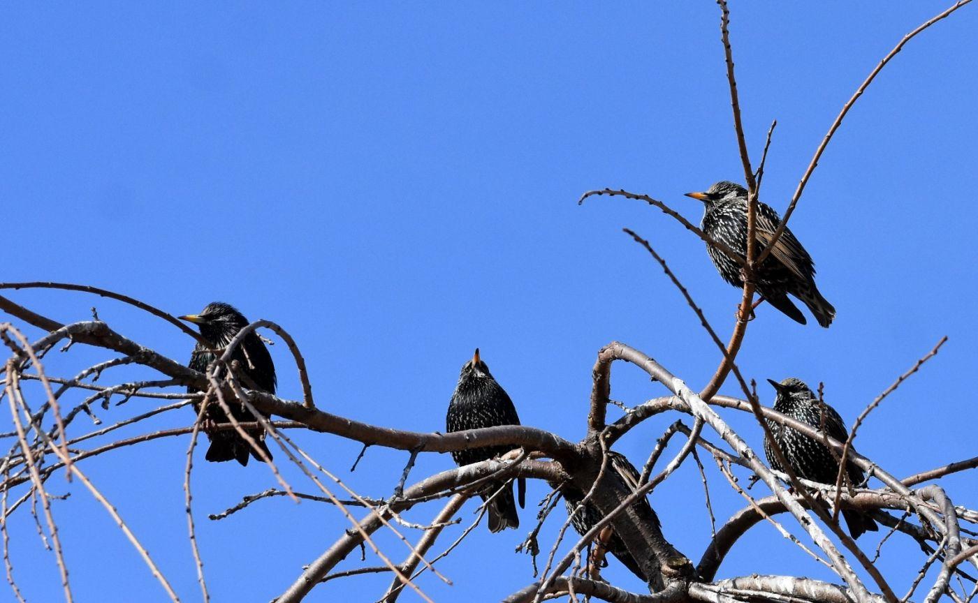 紫翅椋鸟_图1-23