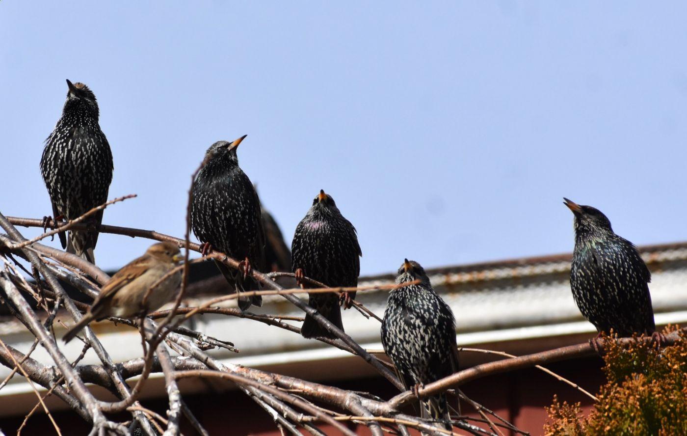 紫翅椋鸟_图1-24