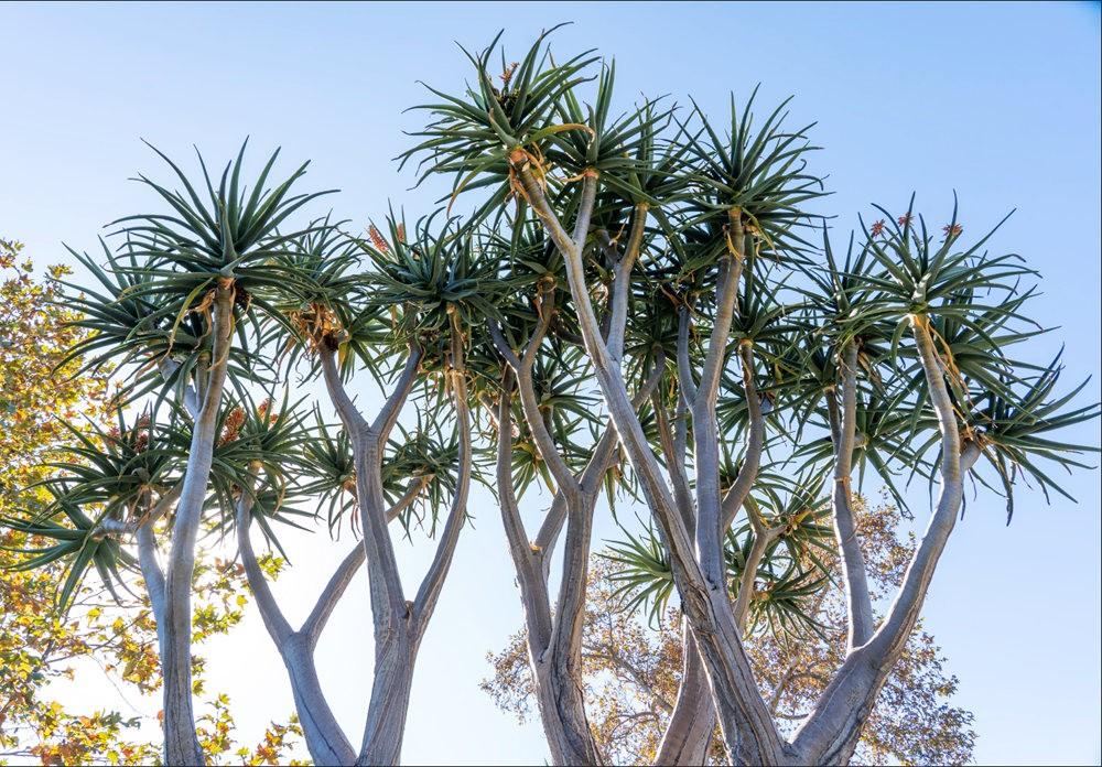亨廷顿沙漠花园的新面目_图1-17