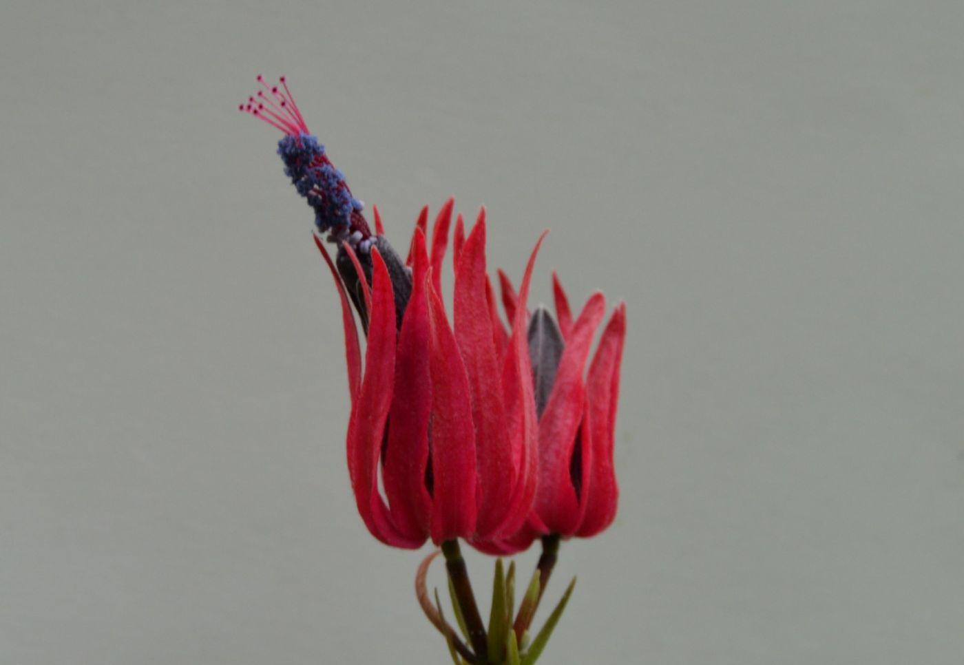 多花孔雀葵_图1-10