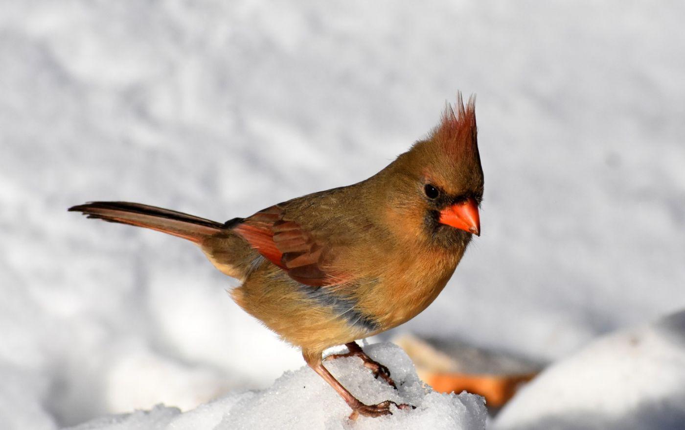 雪后鸟儿忙觅食_图1-1