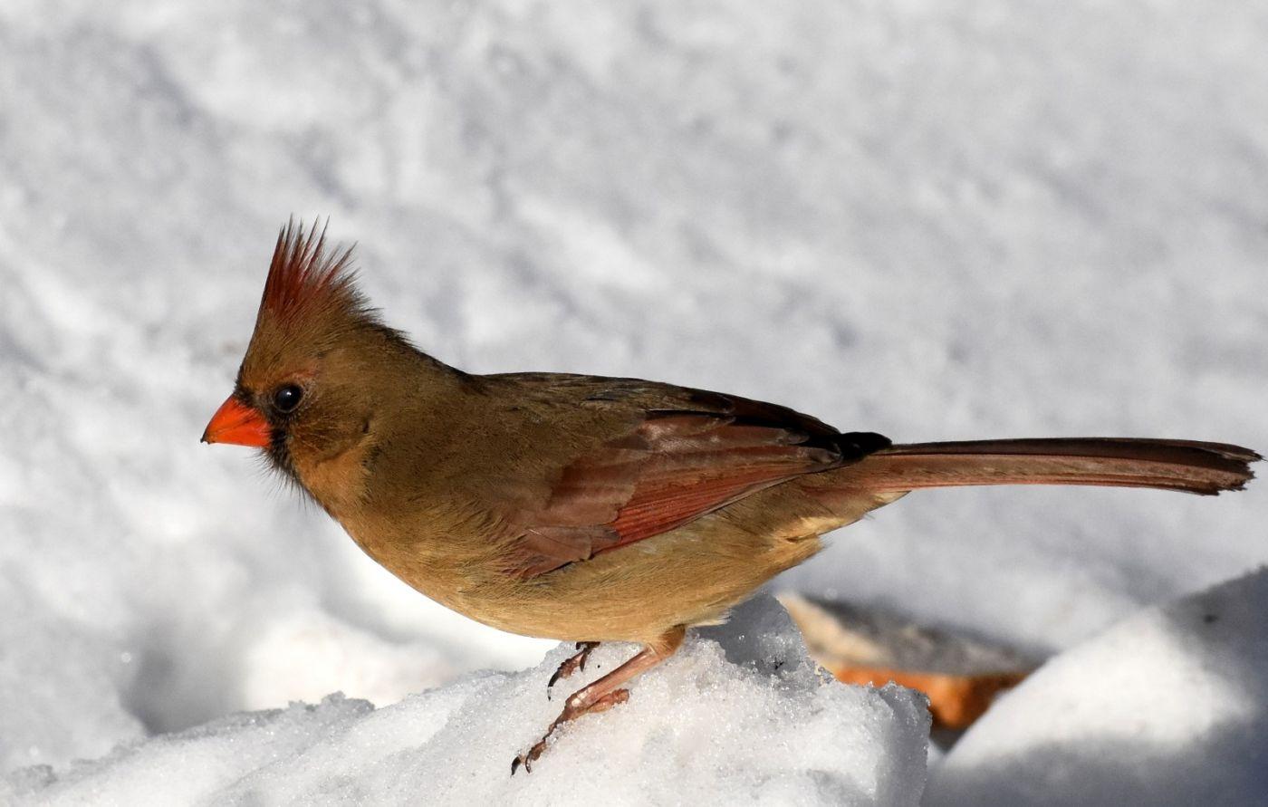 雪后鸟儿忙觅食_图1-2