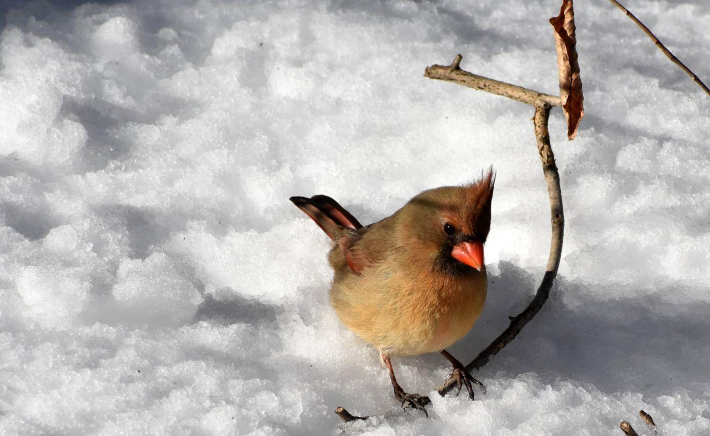 雪后鸟儿忙觅食_图1-3