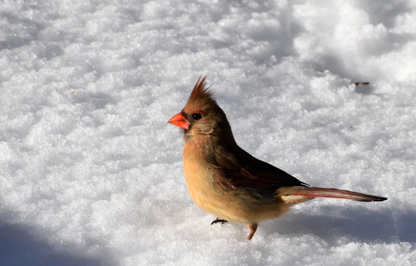 雪后鸟儿忙觅食_图1-5