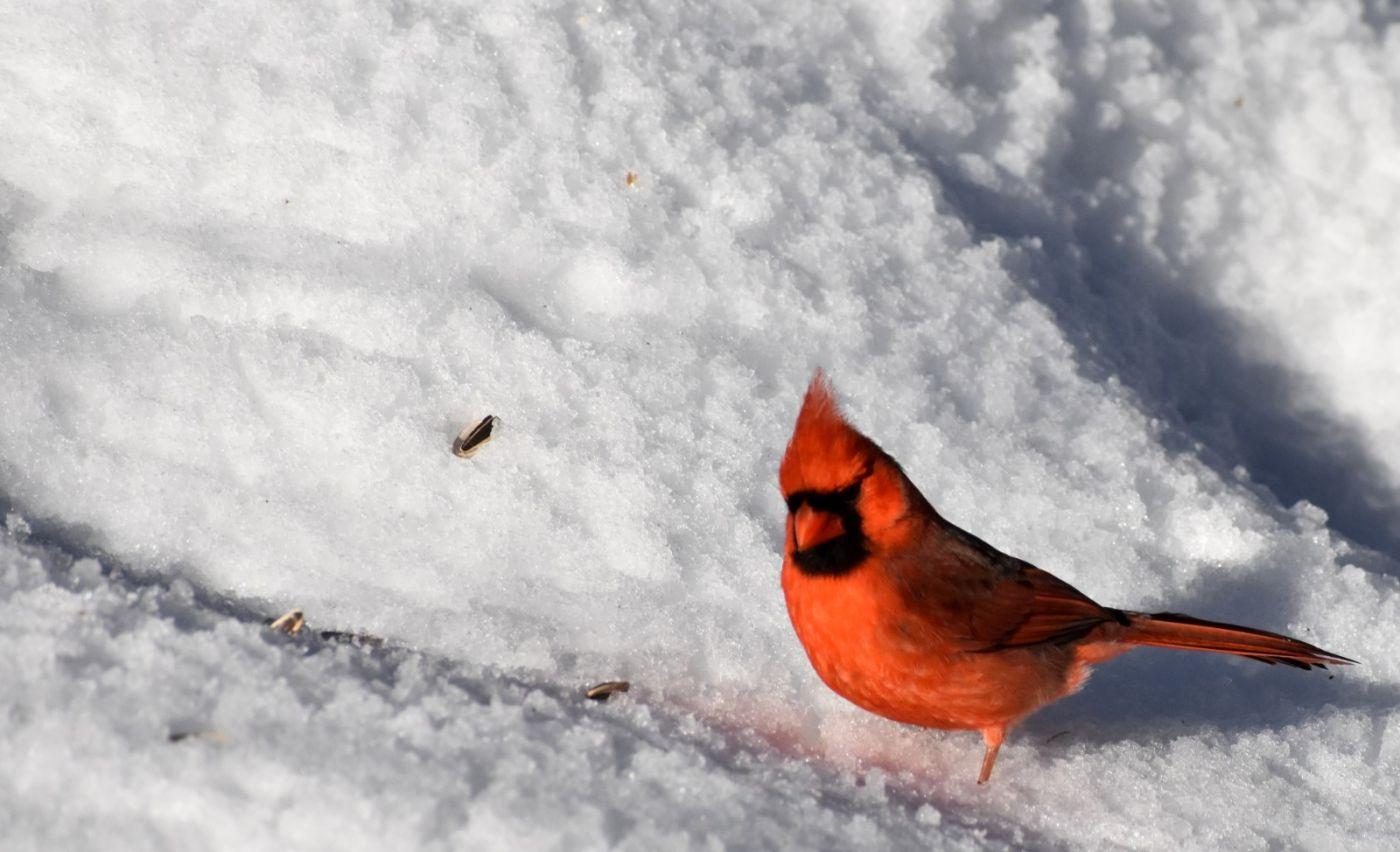 雪后鸟儿忙觅食_图1-6