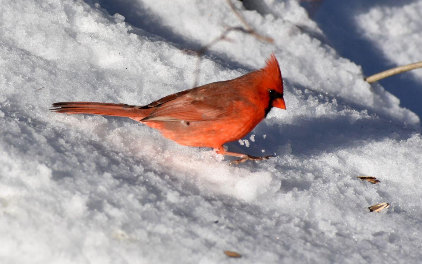 雪后鸟儿忙觅食_图1-9