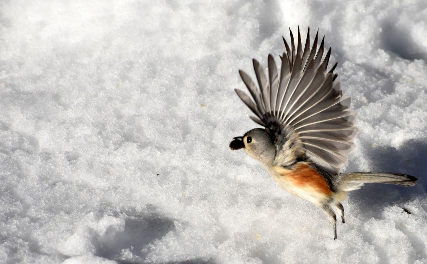 雪后鸟儿忙觅食_图1-11