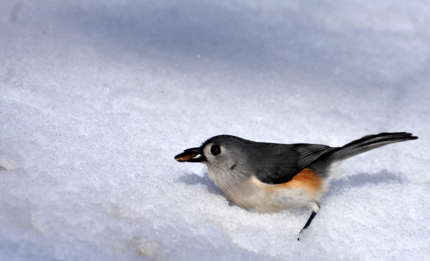 雪后鸟儿忙觅食_图1-12