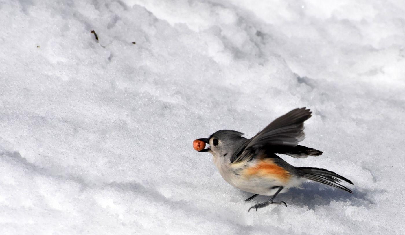 雪后鸟儿忙觅食_图1-13