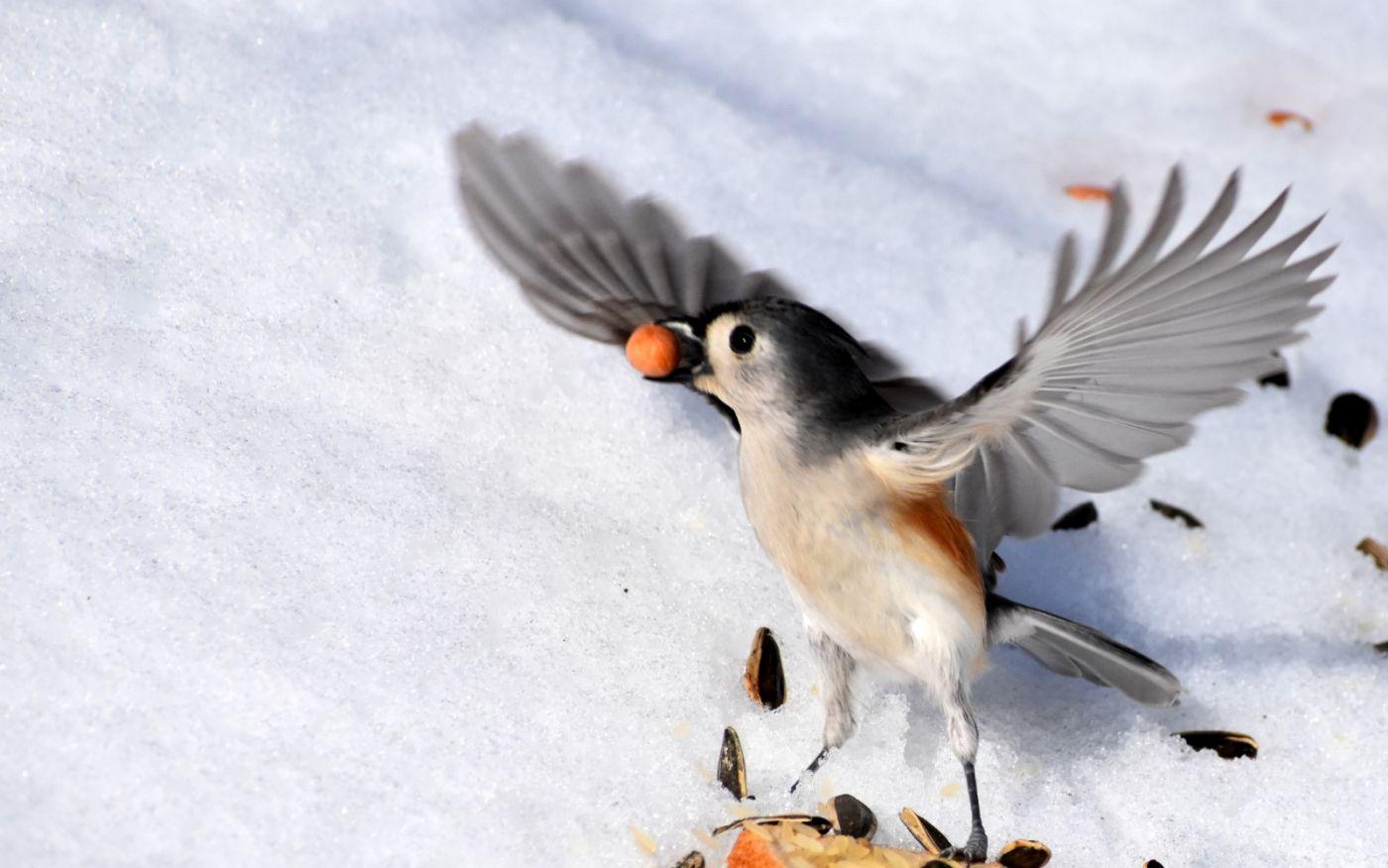 雪后鸟儿忙觅食_图1-14