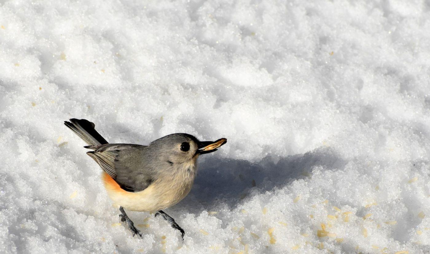 雪后鸟儿忙觅食_图1-15