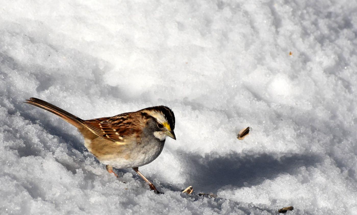 雪后鸟儿忙觅食_图1-16