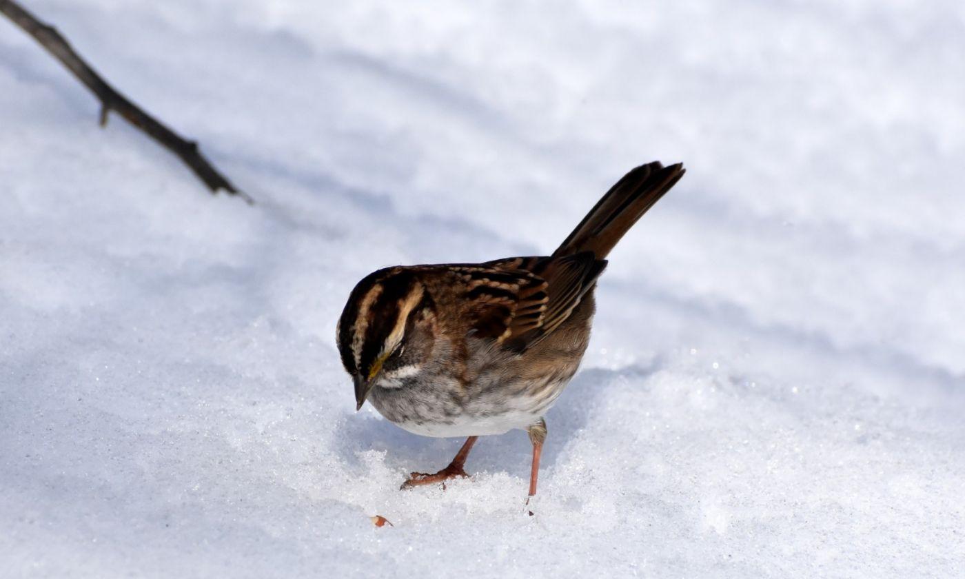 雪后鸟儿忙觅食_图1-17