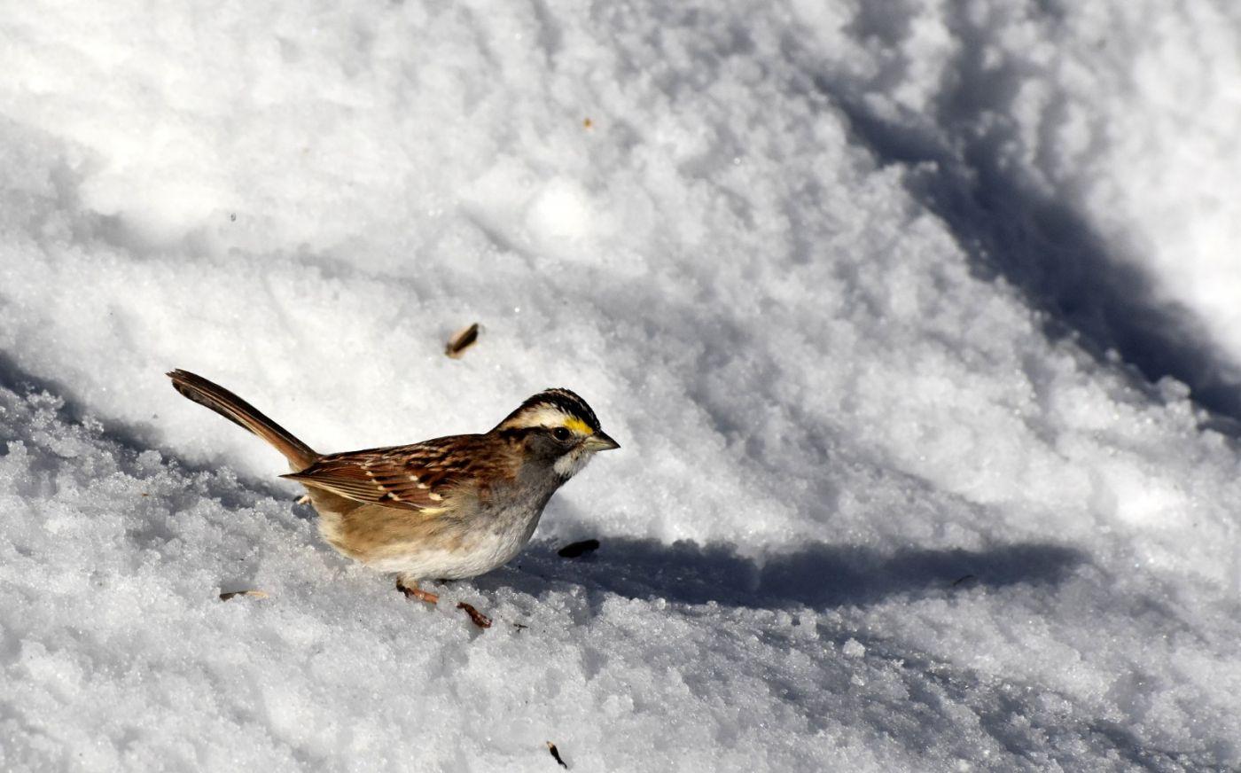 雪后鸟儿忙觅食_图1-18