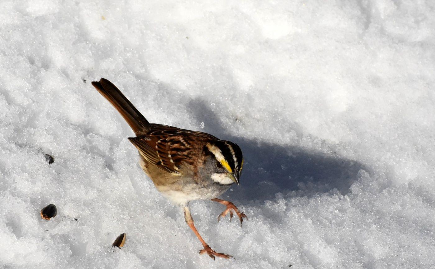 雪后鸟儿忙觅食_图1-19