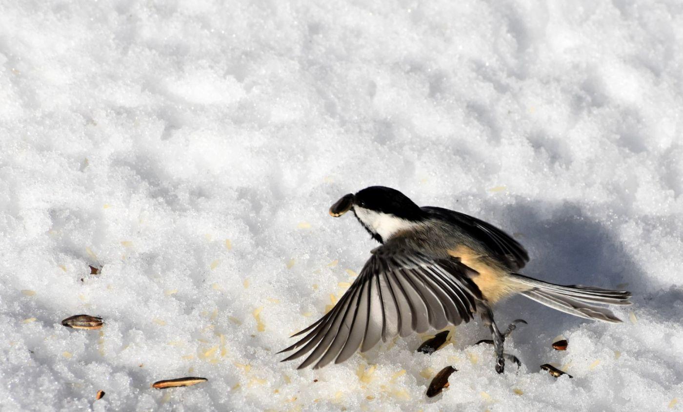 雪后鸟儿忙觅食_图1-21