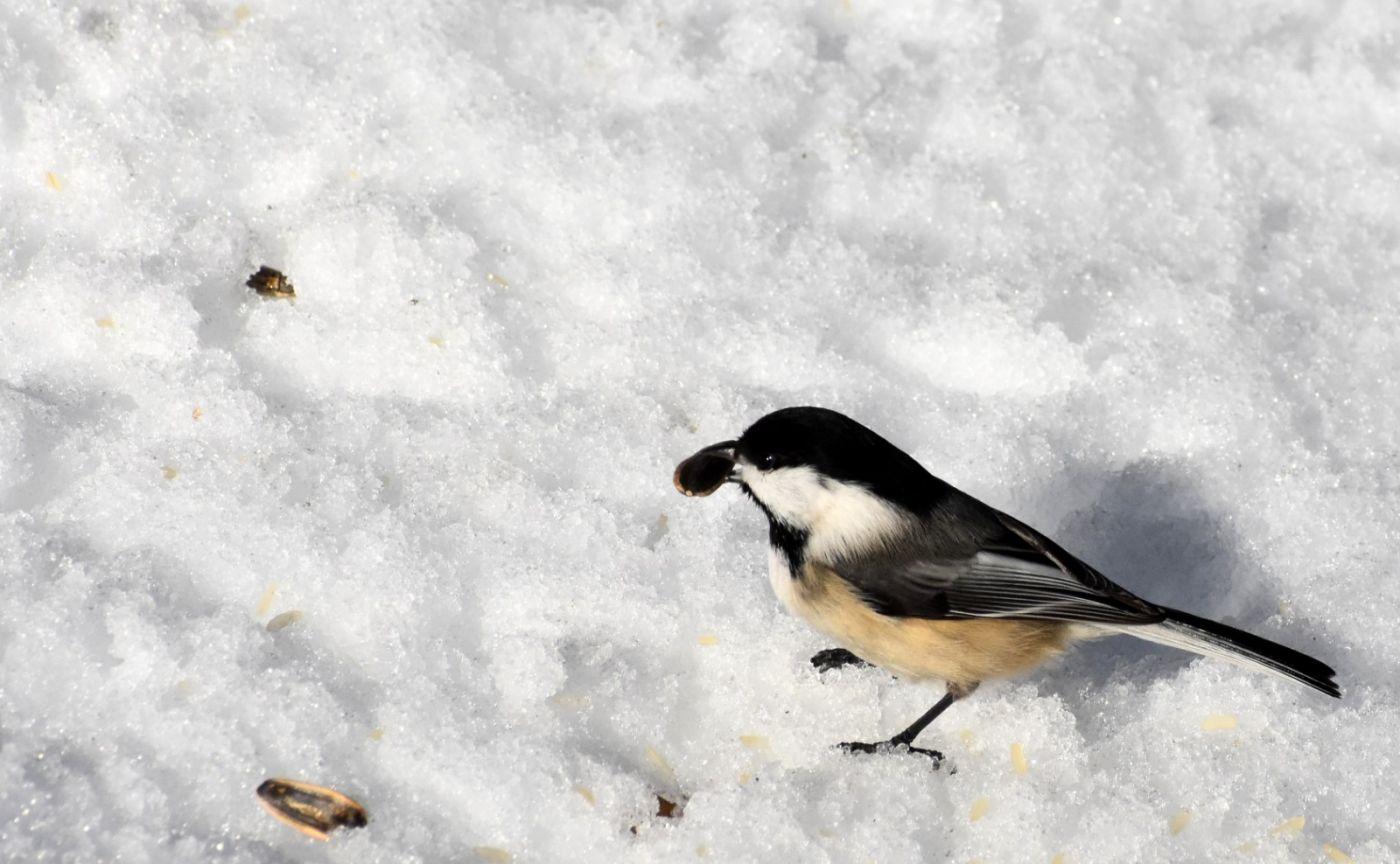 雪后鸟儿忙觅食_图1-23