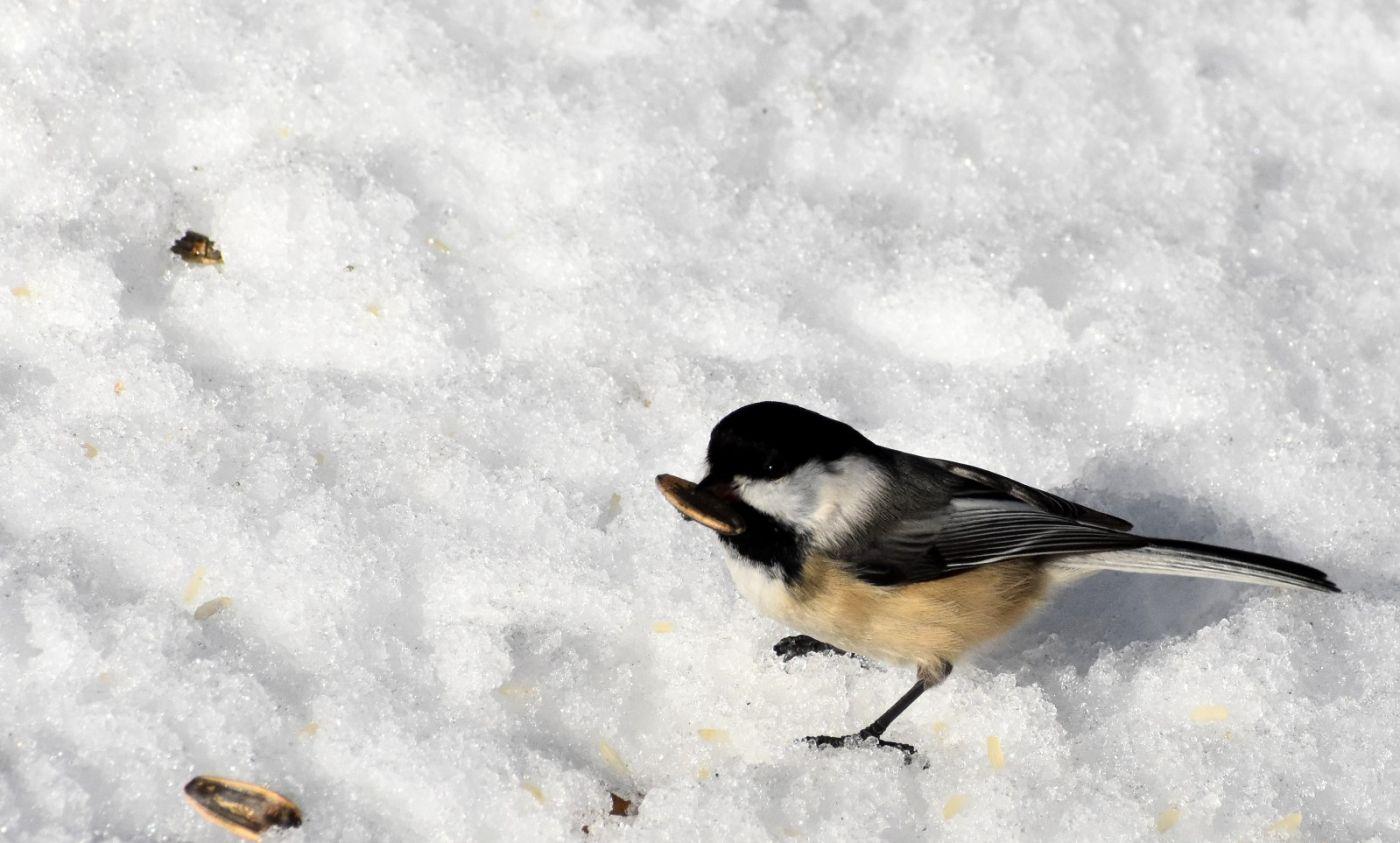 雪后鸟儿忙觅食_图1-24