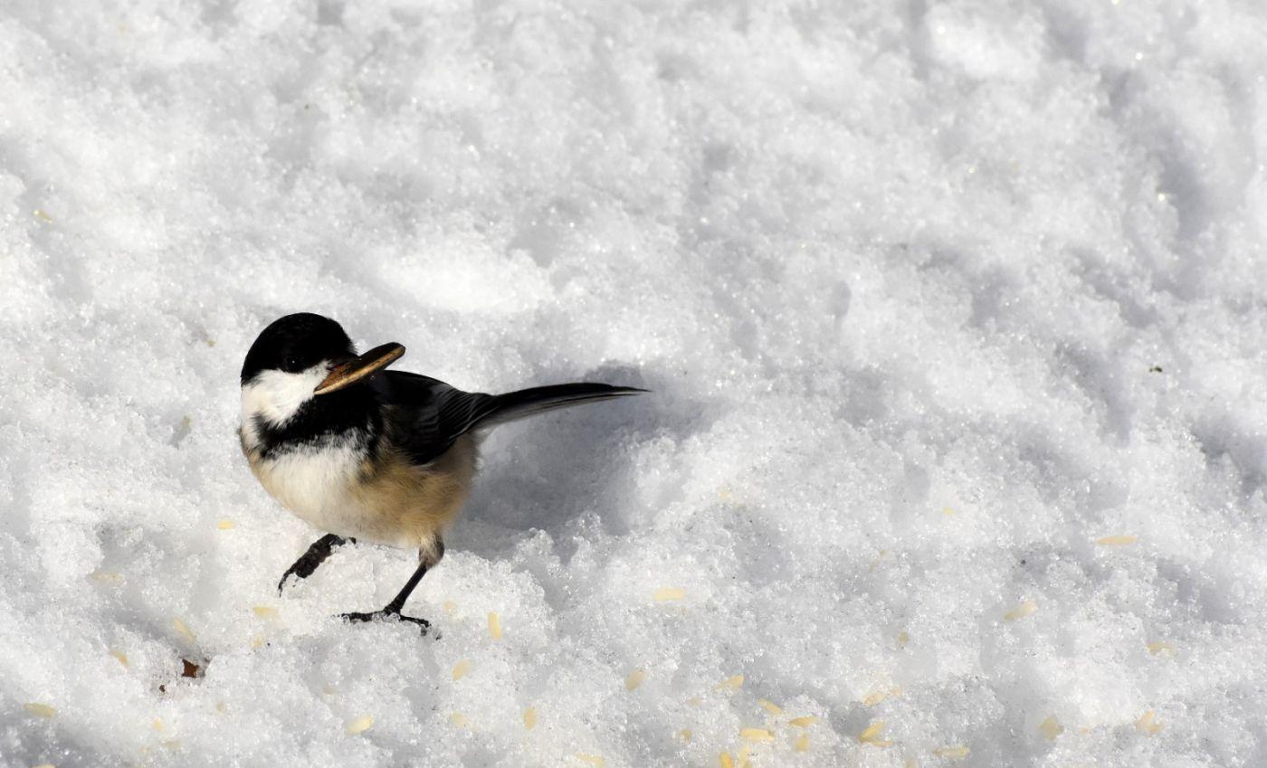 雪后鸟儿忙觅食_图1-25