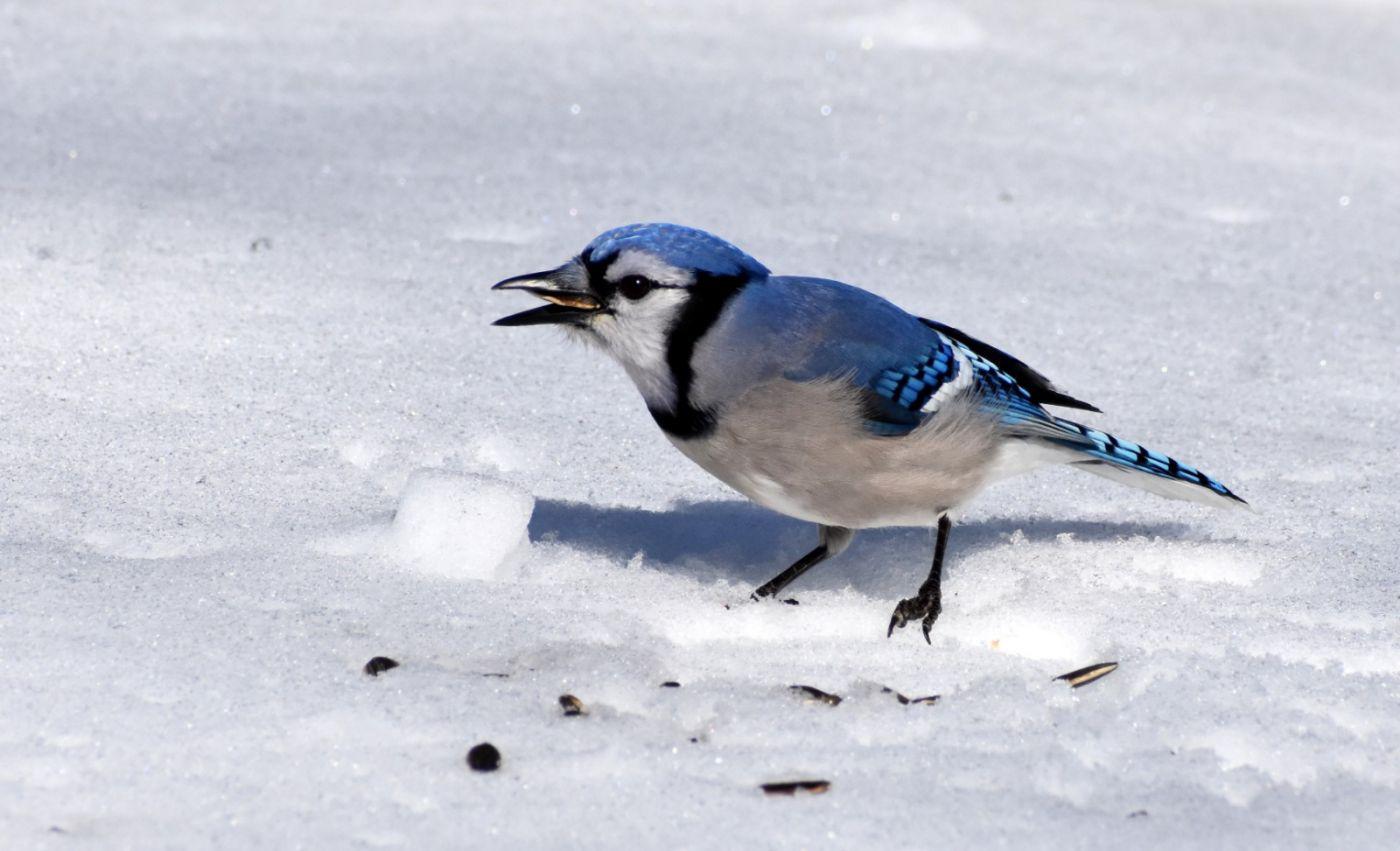 雪后鸟儿忙觅食_图1-26