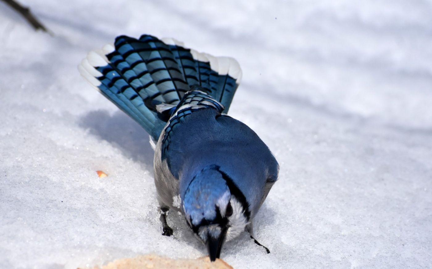 雪后鸟儿忙觅食_图1-27
