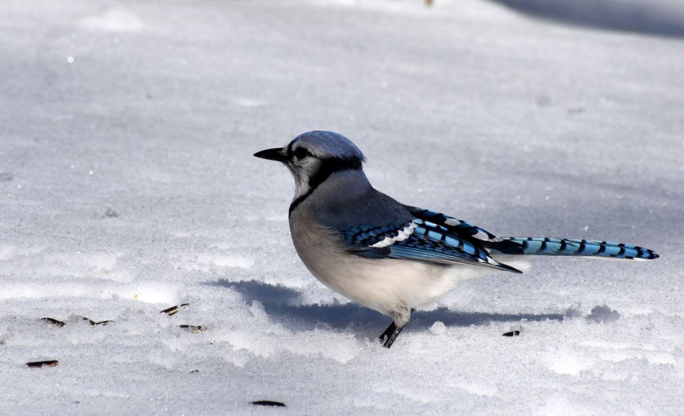 雪后鸟儿忙觅食_图1-28