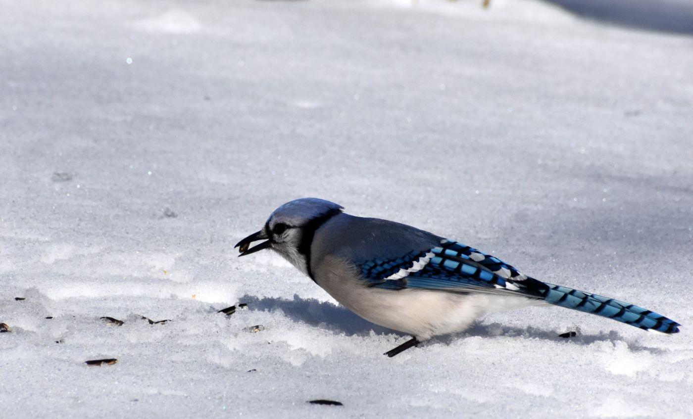 雪后鸟儿忙觅食_图1-29