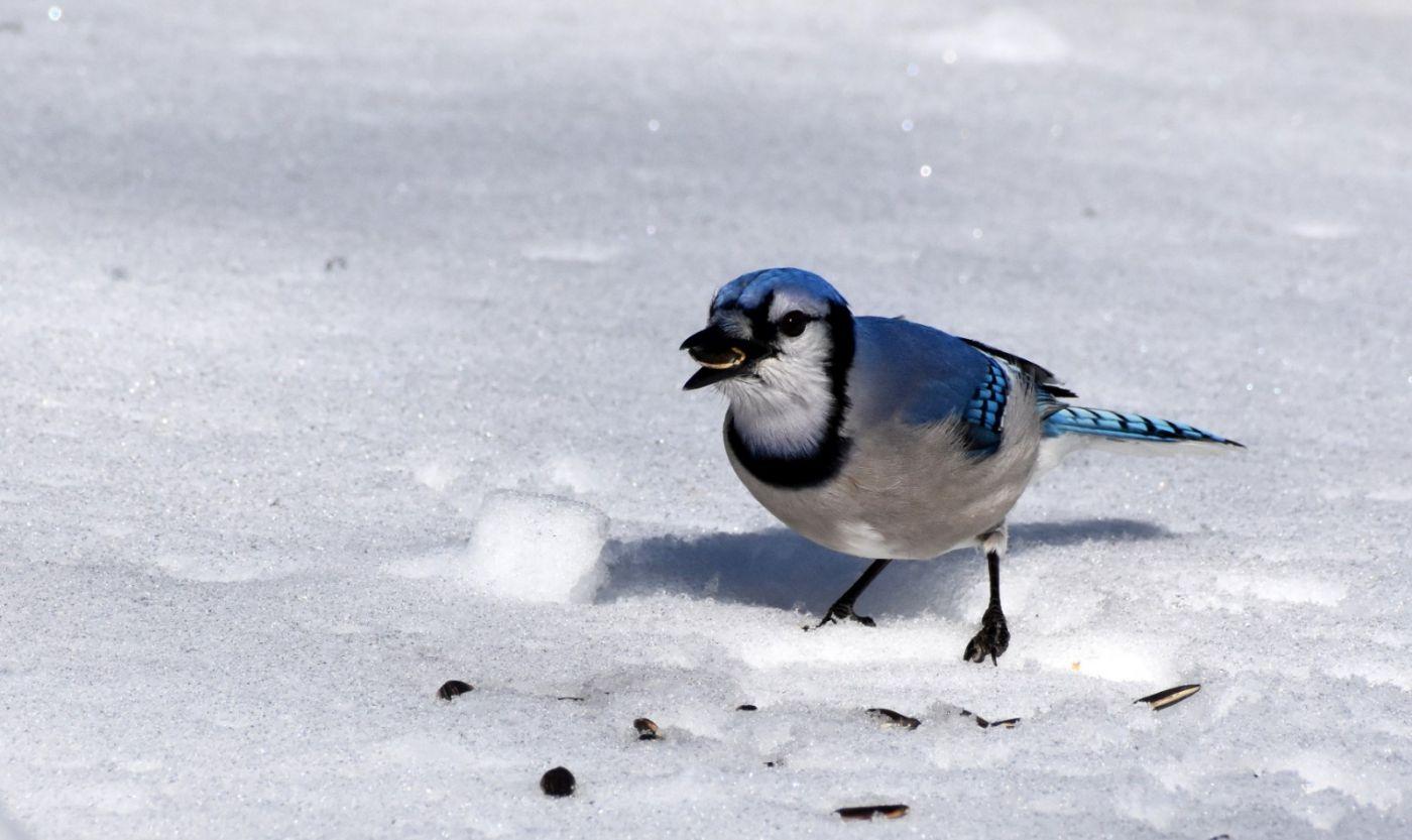 雪后鸟儿忙觅食_图1-30