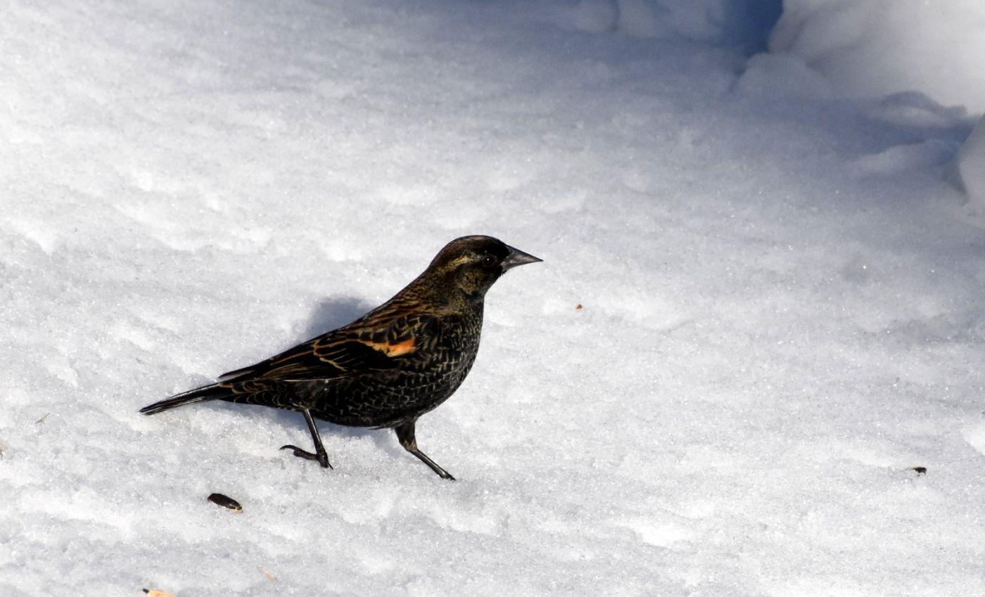 雪后鸟儿忙觅食_图1-31