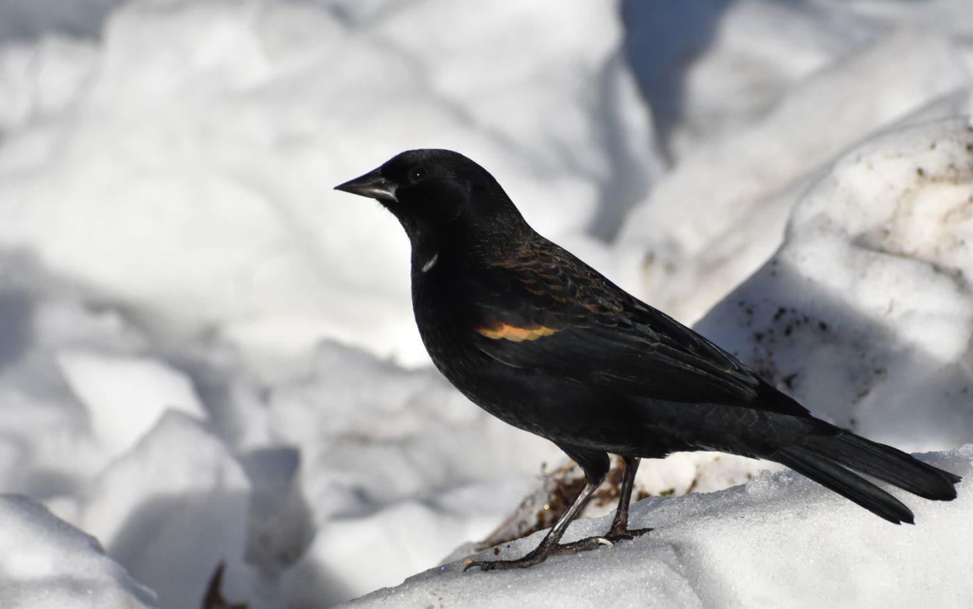雪后鸟儿忙觅食_图1-32