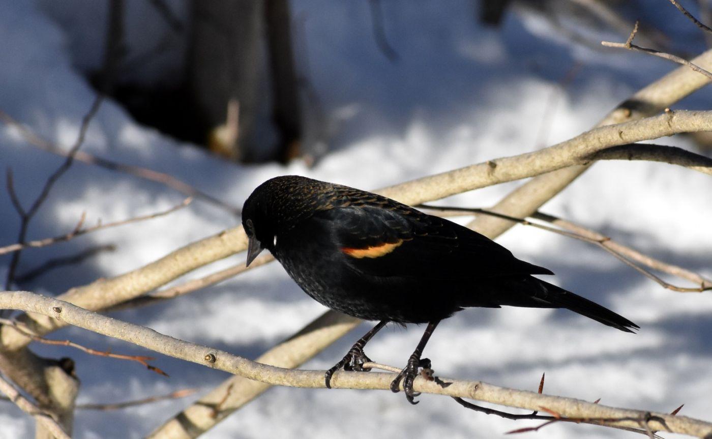 雪后鸟儿忙觅食_图1-33