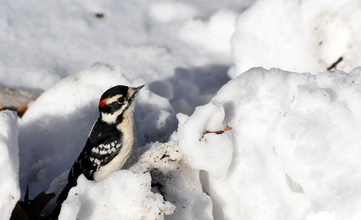 雪后鸟儿忙觅食_图1-34