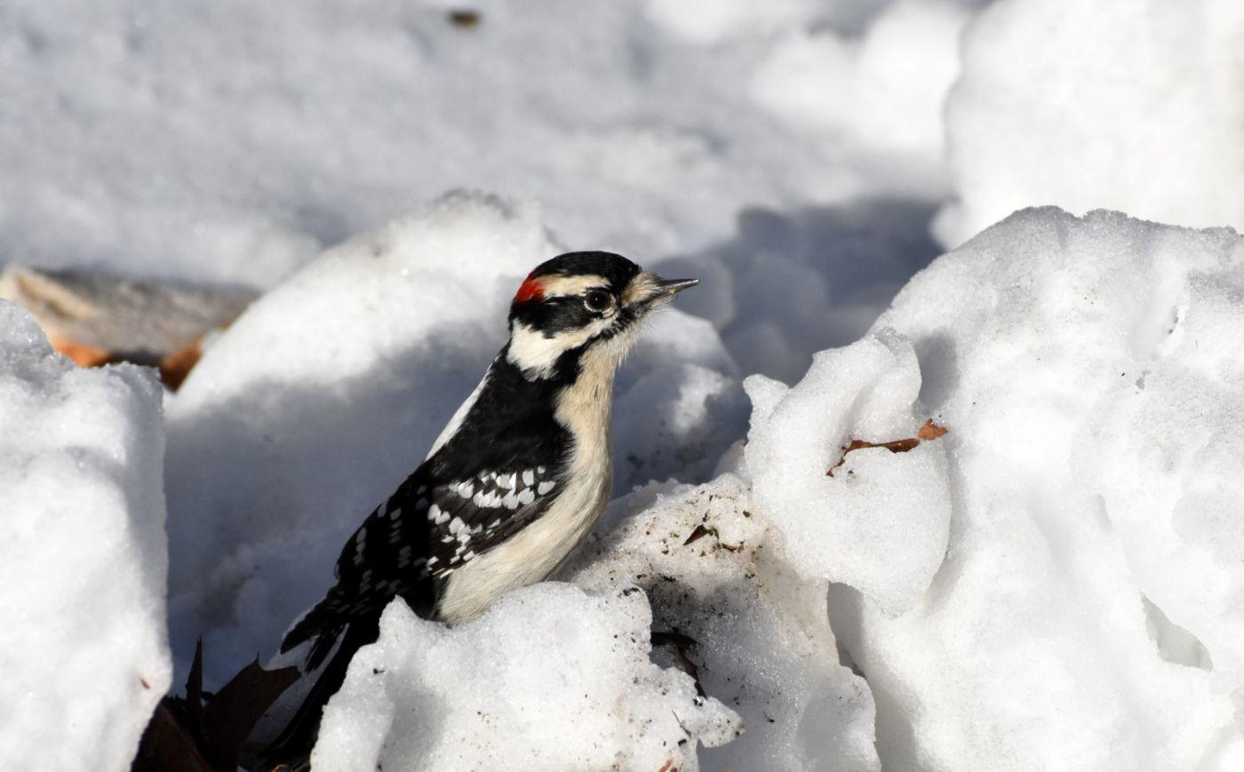 雪后鸟儿忙觅食_图1-35