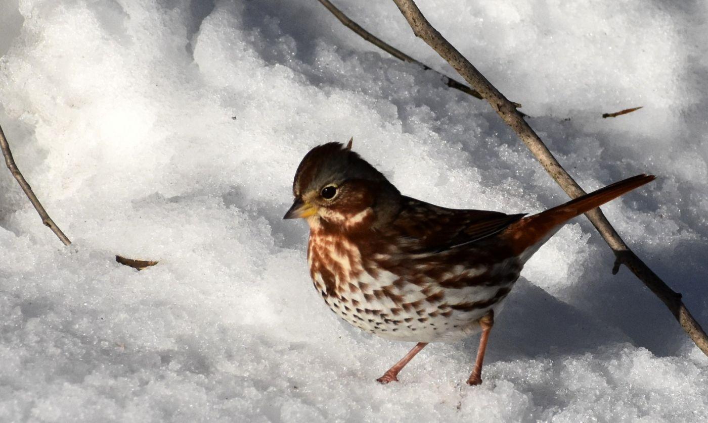 雪后鸟儿忙觅食_图1-37