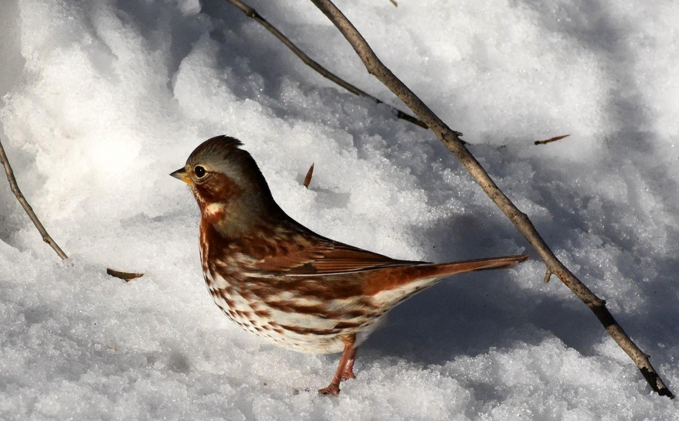 雪后鸟儿忙觅食_图1-38