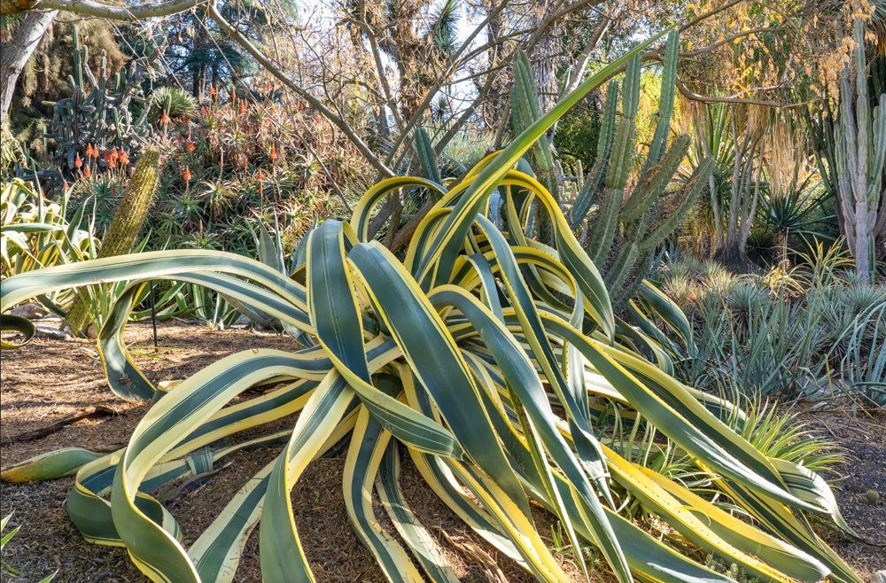 亨廷顿沙漠花园之-桨叶和仙人球_图1-3