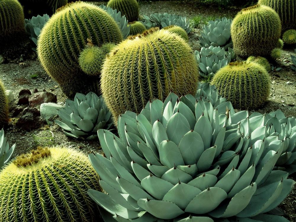 亨廷顿沙漠花园之-桨叶和仙人球_图1-20