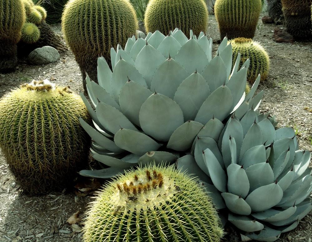 亨廷顿沙漠花园之-桨叶和仙人球_图1-21