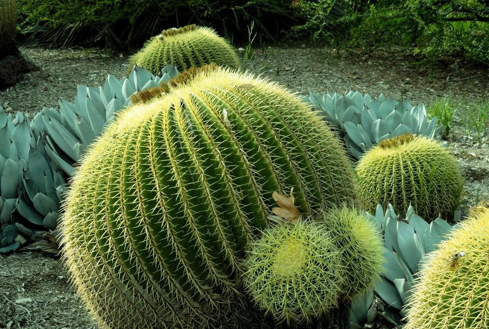亨廷顿沙漠花园之-桨叶和仙人球_图1-22