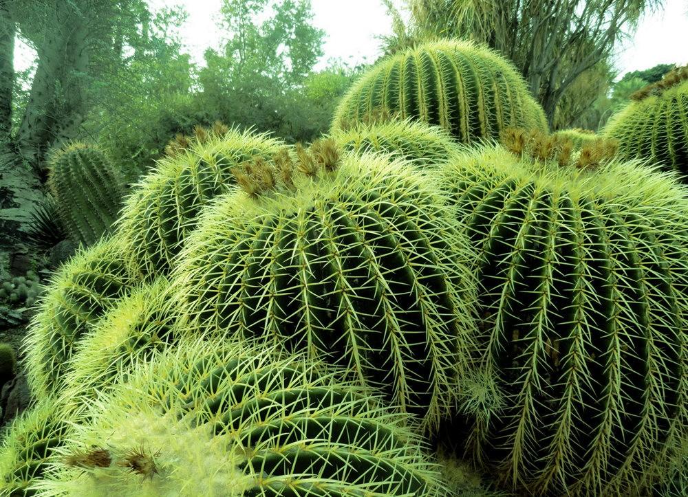 亨廷顿沙漠花园之-桨叶和仙人球_图1-24