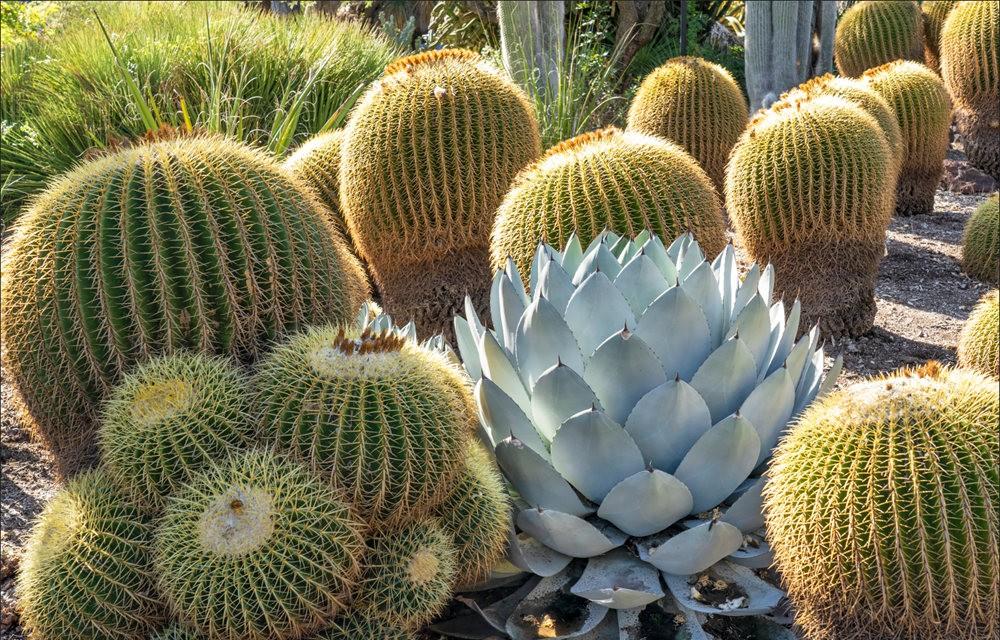 亨廷顿沙漠花园之-桨叶和仙人球_图1-27