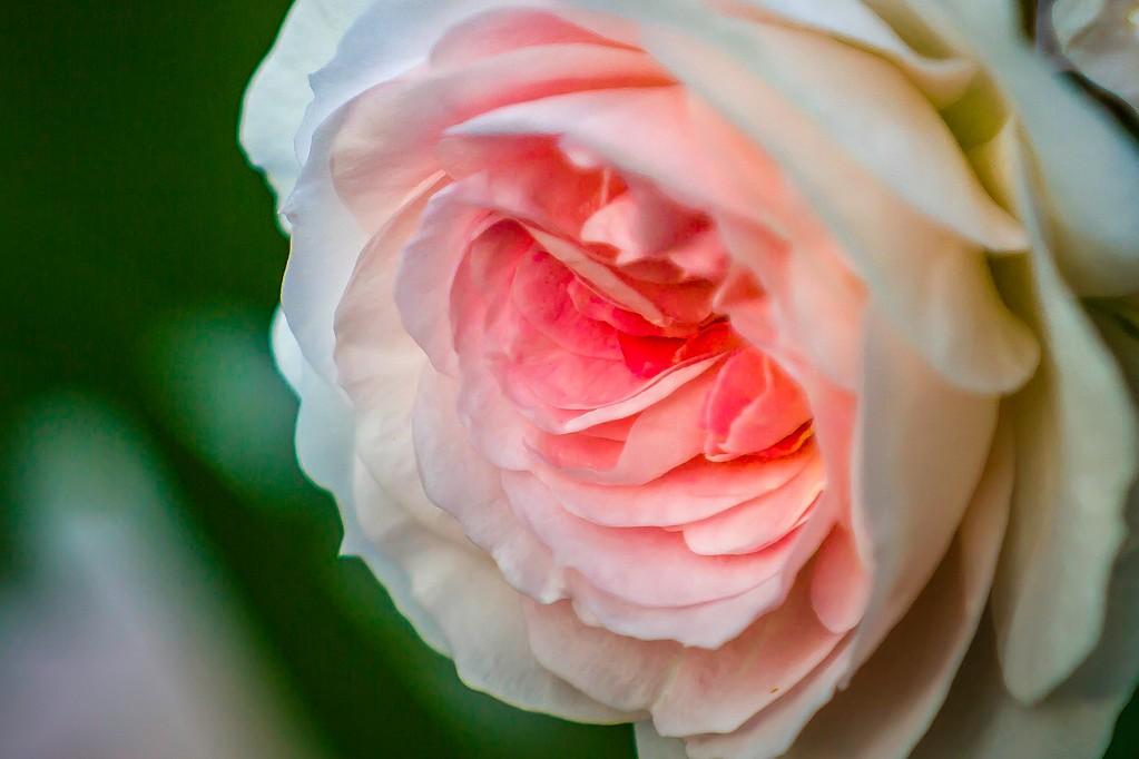 玫瑰花,有情有意_图1-11