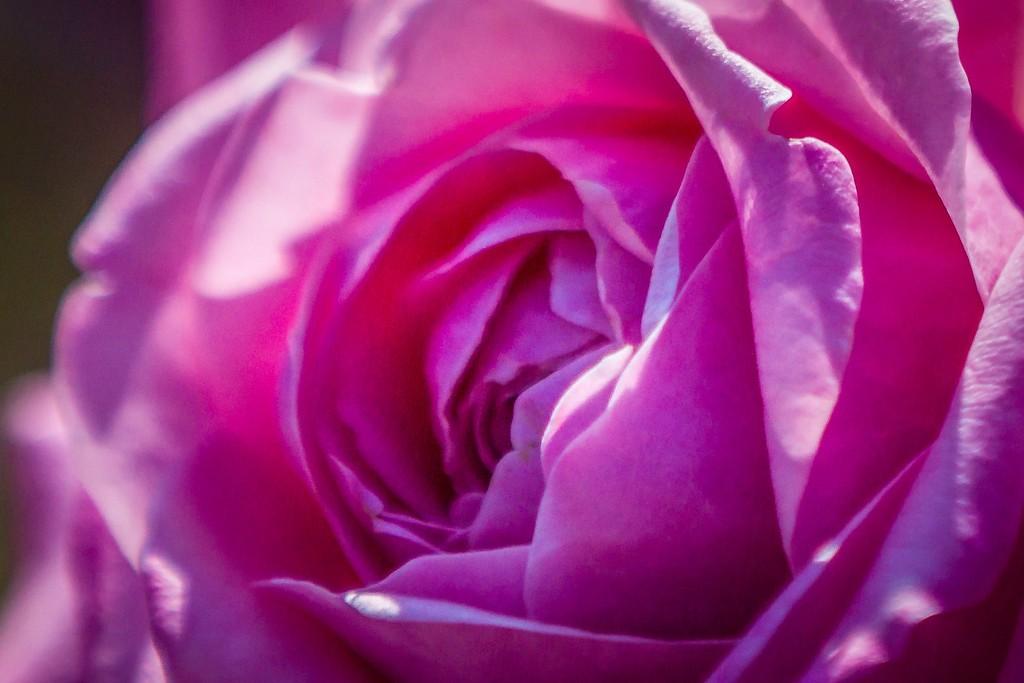 玫瑰花,有情有意_图1-6