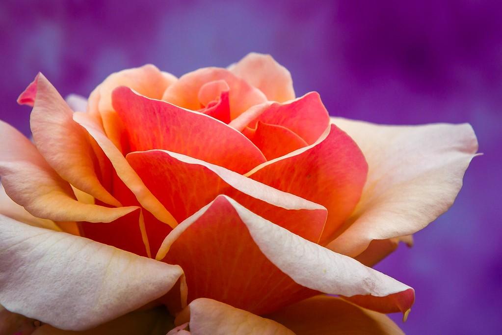 玫瑰花,有情有意_图1-8