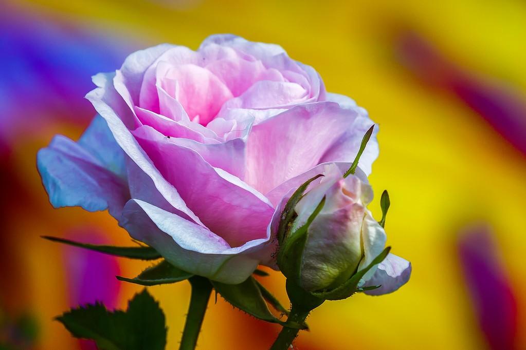 玫瑰花,有情有意_图1-15