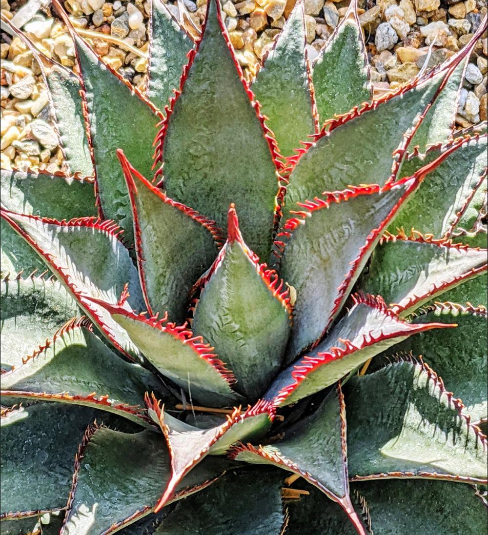 沃尔特斯花园发现的龙舌兰新品种_图1-1