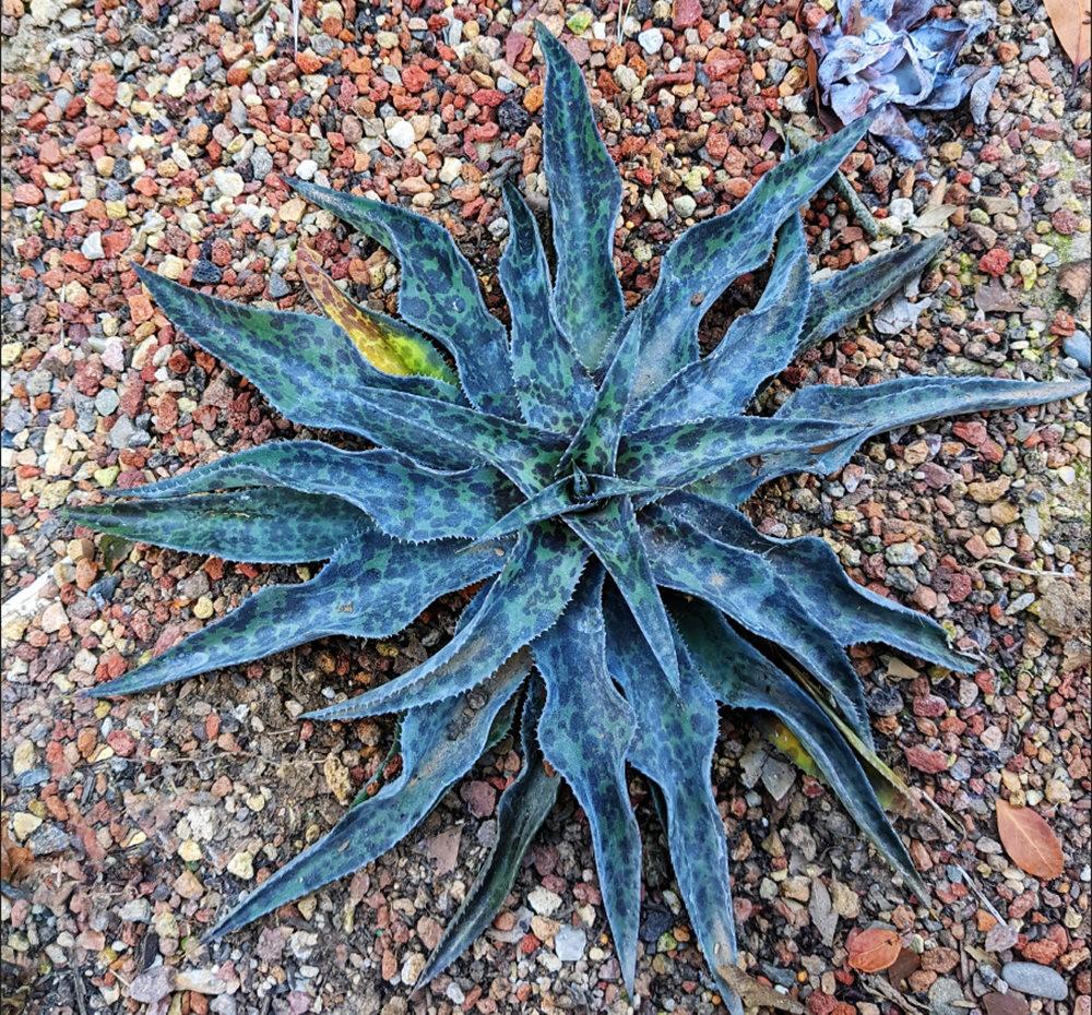 沃尔特斯花园发现的龙舌兰新品种_图1-8