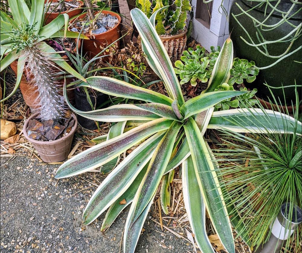 沃尔特斯花园发现的龙舌兰新品种_图1-9